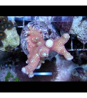 Montipora sp. (branched red polyp)