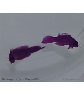 Pseudochromis fridmani - liilakeijuahven
