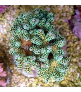 Seriatopora caliendrum