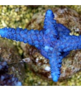 Acropora gomezi (bluish)