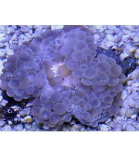 Entacmaea quadricolor - Kuplavuokko