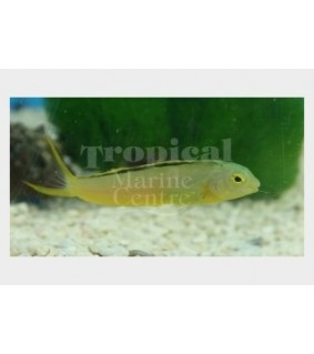 Meiacanthus tongaensis - Tank Bred Canary Blenny - Blackline