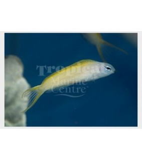 Meiacanthus atrodorsalis - Tank Bred Canary Blenny - Blue Head
