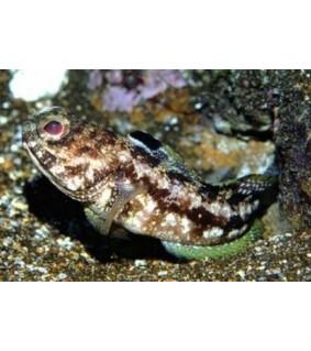 Opistognathus scops - Jawfish - Leopard