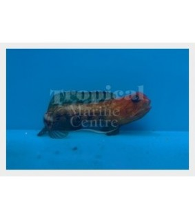 Opistognathus rufilineatus - Jawfish - Red