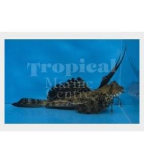 Dactylopus dactylopus - Gurnard - Dragonet