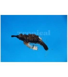 Eurypegasus draconis - Gurnard - Jet