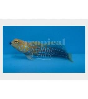 Opistognathus rosenblatti - Jawfish - Blue Dot