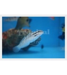 Amblygobius stethophthalmus - Watchman Goby - White
