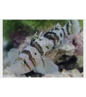 Priolepis nocturna - Zebra Goby