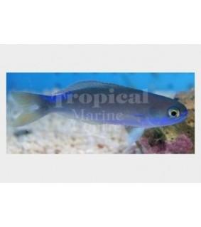 Hoplolatilus fronticinctus - Tile Goby - Blue Flash