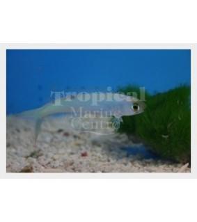 Hoplolatilus chlupatyi - Tile Goby - Flashing