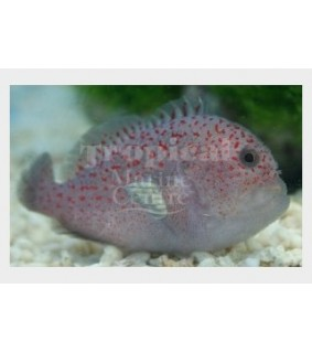 Caracanthus maculatus - Red Speckled Coral Goby