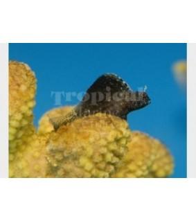 Emblemaria pandionis - Sailfin Blenny - Caribbean