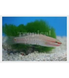 Amblygobius decussatus - Pinkline Goby