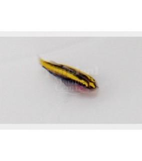 Elacatinus figaro - Neon Goby - Gold