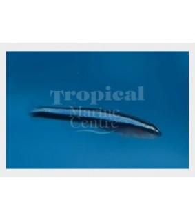 Elacatinus oceanops - Blue Neon Goby