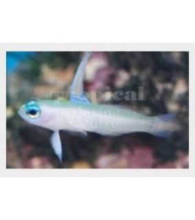Tryssogobius colini - Nano Goby - Blue Eye