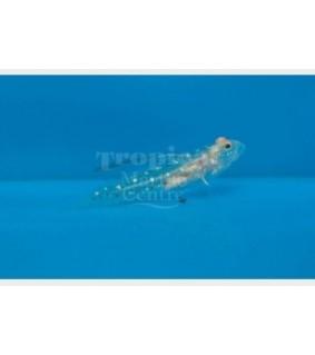 Ctenogobiops tangaroai - Hi Fin Spangle Goby