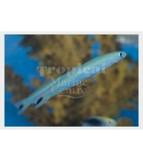 Ptereleotris heteroptera - Gudgeon - Blue