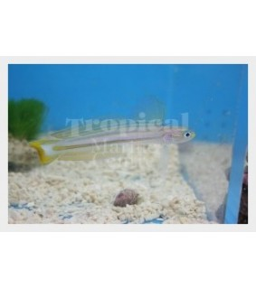Ptereleotris grammica - Gudgeon - Orange stripe
