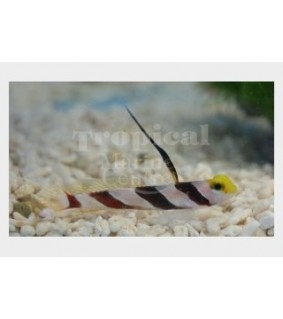 Stonogobiops xanthorhinica - Hi Fin Banded Goby