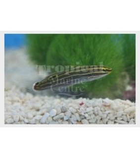 Amblygobius hectori - Court Jester Goby - Gold