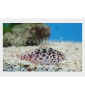 Cirrhitichthys aprinus - Täplähaukkakala