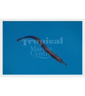 Doryrhamphus excisus - Pipefish - Blue