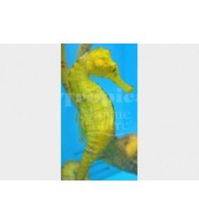 Hippocampus reidi - Seahorse Reidi - TANK BRED