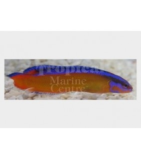 Pseudochromis aldabraensis - Tank Bred Pygmy Basslet - Neon