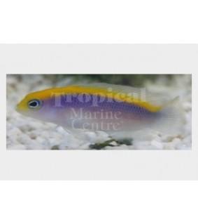 Pseudochromis flavivertex - Sunrise Pygmy Basslet