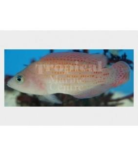 Pholidochromis cerasina - Red Spotted Pygmy Basslet