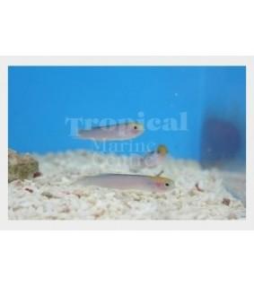 Trachinops taeniatus - Hula Basslet