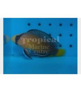 Manonichthys splendens - Jewel Pygmy Basslet