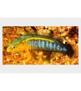 Pseudochromis cyanotaenia - Olive Head Pygmy Basslet
