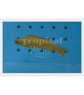 Assessor flavissimus - Forktail Pygmy Basslet - Yellow