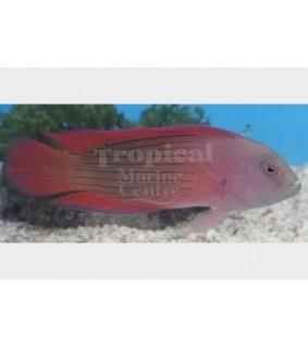 Labracinus sp. - Giant Dotty Pygmy Basslet