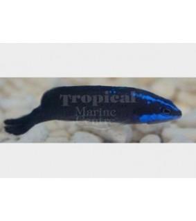 Pseudochromis springeri - Blue Streak Pygmy Basslet