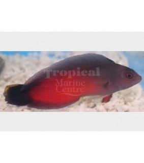 Ogilbyina novaehollandiae - Flame Pygmy Basslet