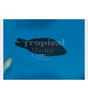 Assessor macneilli - Forktail Pygmy Basslet - Blue