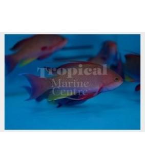 Pseudanthias cf cheirospilos - Wreck Fish - Pacific