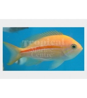 Pseudanthias fasciatus - Striped Anthias