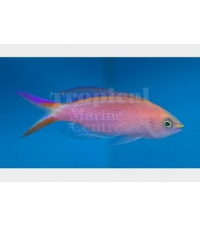 Pseudanthias smithvanizi - Princess Anthias