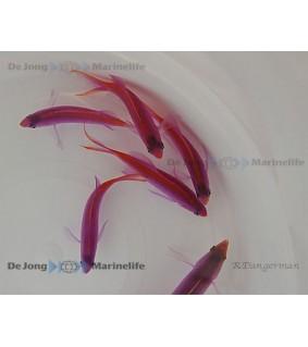 Pseudanthias tuka - Purple Queen Anthias