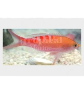 Pseudanthias lori - Lori Anthias - Melanesia