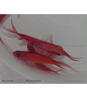 Pseudanthias dispar - Dispar Anthias - Coral Sea