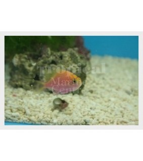 Serranocirrhitus latus - Fat Head Anthias
