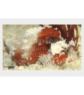 Scorpaenodes sp. - Scorpino