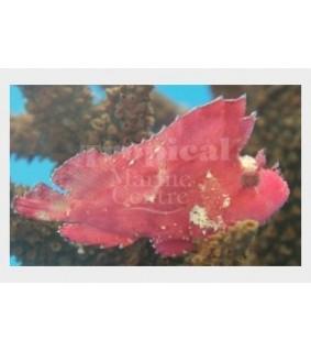 Taenianotus triacanthus - Leaf Fish - Red